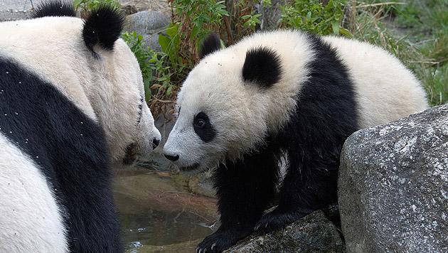 """Mama """"Yang Yang"""" hat stets ein wachsames Auge auf ihren Nachwuchs. (Bild: Jutta Kirchner)"""