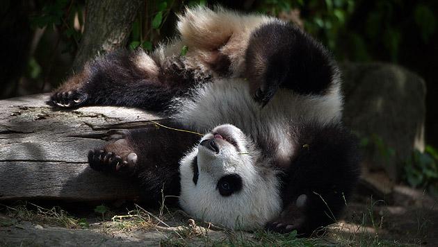 "Pandabärchen ""Fu Bao"" feiert ersten Geburtstag (Bild: Jutta Kirchner)"
