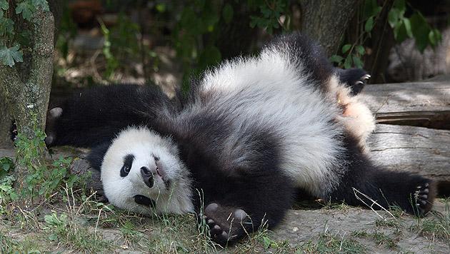 Ein kleiner Panda braucht auch mal eine Pause. (Bild: Jutta Kirchner)