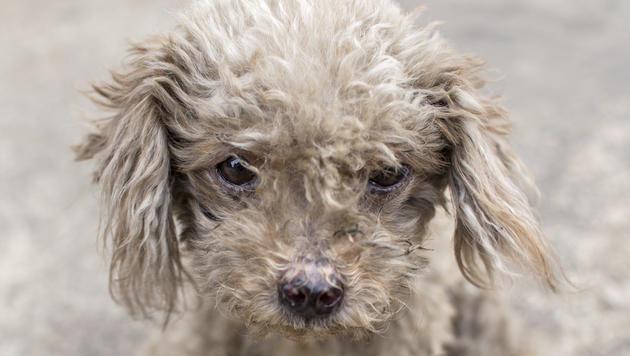 38 Hunde verhungert - Prozess erneut vertagt (Bild: thinkstockphotos.de (Symbolbild))