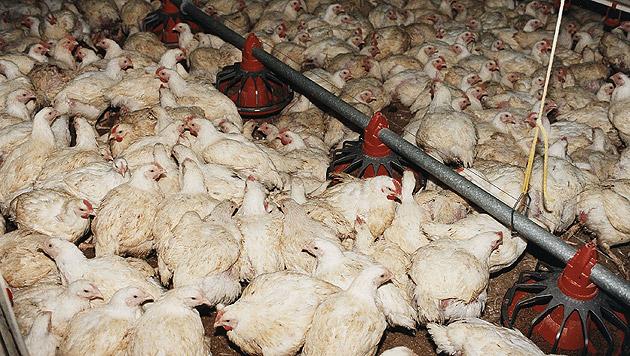 """Tierärztekammer : """"TTIP ist eine große Gefahr"""" (Bild: Vier Pfoten/Fred Dott)"""