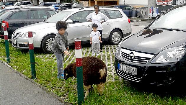 Vor Schächtung gerettetes Schaf spaltet Kaprun (Bild: Barbara Pillwein)