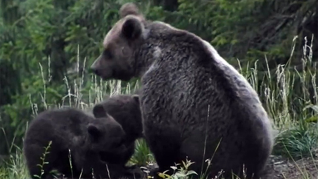 """Bärin """"Danzia"""" beim Füttern ihrer Jungen: Das Video wurde im Jahr 2012 aufgenommen. (Bild: YouTube.com/PATrento)"""