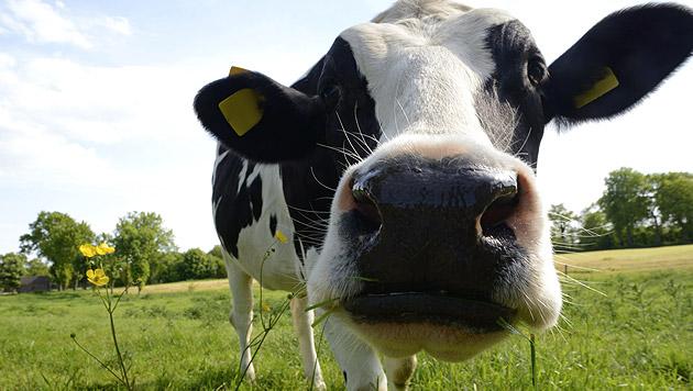 Randalierende Kühe verwüsten alten Bauernhof (Bild: thinkstockphotos.de)