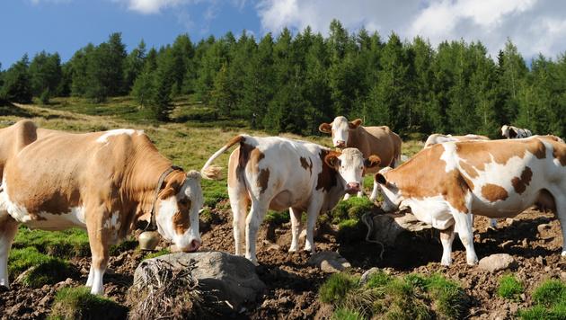 Wanderer (77) in Tirol von Kuh schwer verletzt (Bild: APA/BARBARA GINDL (Symbolbild))