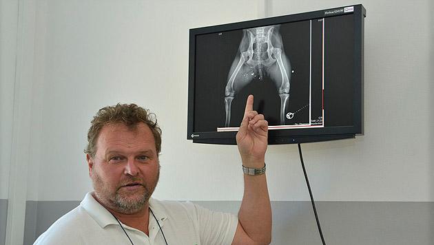 """""""Der Ischias-Nerv wurde nur knapp verfehlt"""", sagt der Veterinär. (Bild: Pressefoto Weber)"""