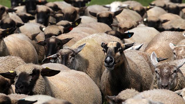 Tierquäler ließ 18 Schafe verdursten (Bild: dpa-Zentralbild/Bernd Wüstneck (Symbolbild))