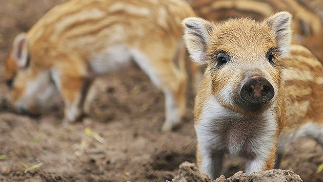 Verwaister Frischling lebt mit Kühen auf der Weide (Bild: thinkstockphotos.de (Symbolbild))