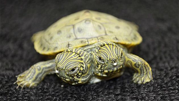 Schildkröten mit zwei Köpfen gibt es öfter – wie diese aus einem Zoo in Texas. (Bild: AP)