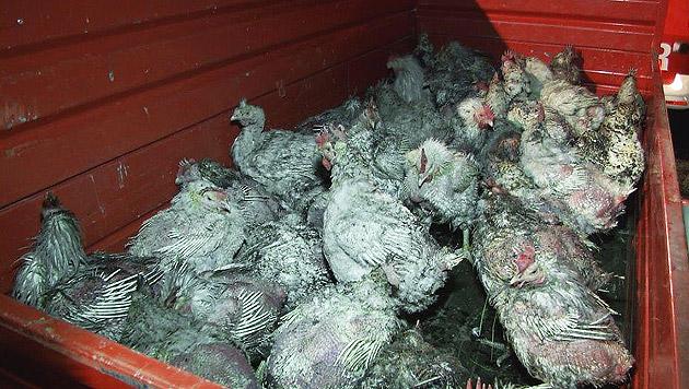 Die überlebenden Hühner waren zum Teil in einem erbarmungswürdigen Zustand. (Bild: APA/FILMTEAM AUSTRIA/ROLAND THEN)