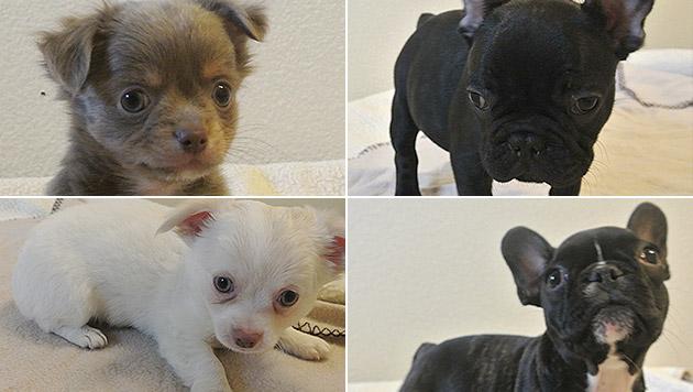 Mit maximal sieben Wochen hätten die Hunde noch nicht von der Mutter getrennt werden dürfen. (Bild: Tierheim Dechanthof)