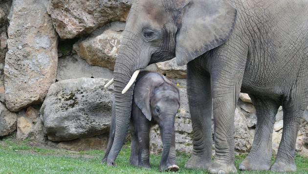 """Elefantenmädchen """"Iqhwa"""" feiert ersten Geburtstag (Bild: Jutta Kirchner)"""