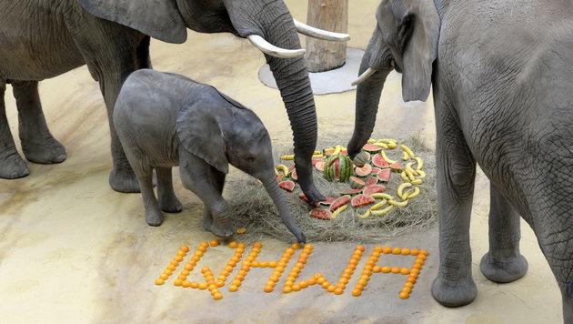 """""""Iqhwa"""" stürzte sich auf ihren Geburtstagskuchen. (Bild: APA/TIERGARTEN SCHÖNBRUNN/NORBER)"""