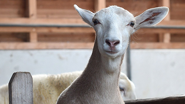 Die sechs Monate alte Schiege, ein Mischwesen aus Schaf und Ziege (Bild: APA/dpa)
