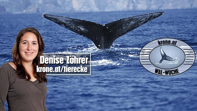 Wale und Delfine vor Italien hautnah erleben (Bild: thinkstockphotos.de, Reinhard Holl, krone.at-Grafik)