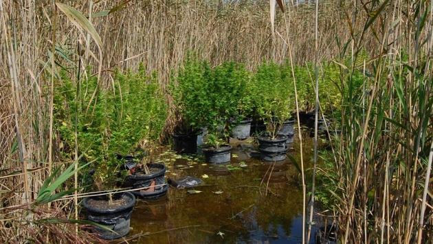 Die Cannabis-Pflanzen gediehen gut versteckt im hohen Schilf des Neusiedler Sees. (Bild: Police.hu)
