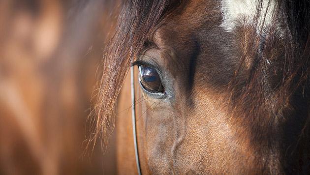 Unbekannter fuhr Pferd an und ließ es zurück (Bild: thinkstockphotos.de (Symbolbild))