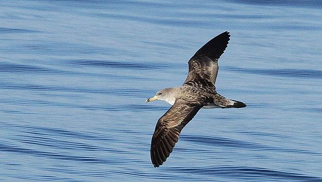 Auch Wasservögel sind auf offener See unterwegs. (Bild: Tethys/S. Airoldi)