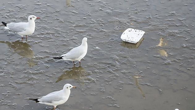 Australiens Vögel haben zunehmend Plastik im Magen (Bild: thinkstockphotos.de)