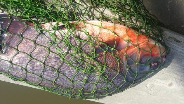 Laut Experten handelt es sich bei dem Tier tatsächlich um einen Piranha. (Bild: Werner Rebensteiner)