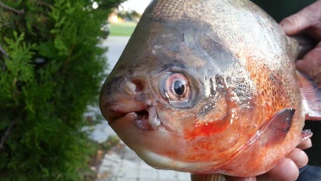 NÖ: Fischer ziehen Piranha aus der March (Bild: Werner Rebensteiner)
