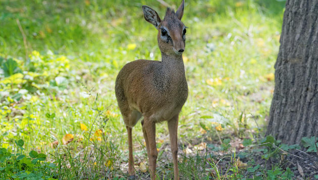 Die kleinen Antilopen sind Meister im Verstecken. (Bild: Tiergarten Schönbrunn/Norbert Potensky)