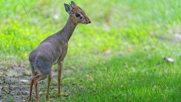 Kirk-Dikdiks sind nicht viel größer als Feldhasen. (Bild: Tiergarten Schönbrunn/Norbert Potensky)