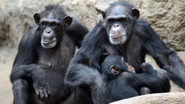 Schimpansen erkennen einander am Hintern (Bild: APA/dpa)