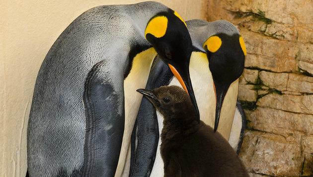 Der Nachwuchs bei den Königspinguinen ist schon 30 Zentimeter groß. (Bild: Tiergarten Schönbrunn/Daniel Zupanc)