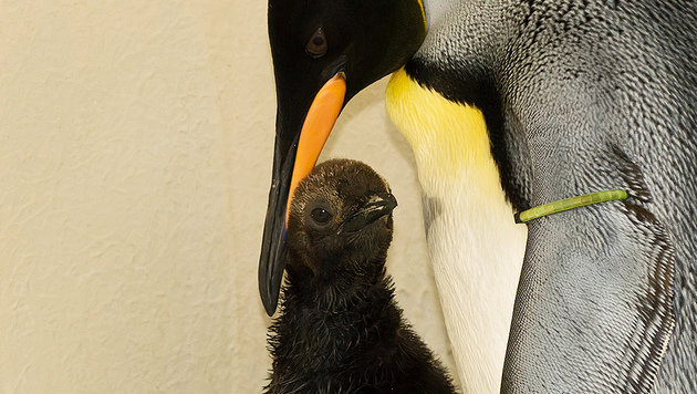 Das Jungtier weicht den Eltern nicht von der Seite. (Bild: Tiergarten Schönbrunn/Daniel Zupanc)