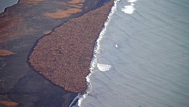 35.000 Walrosse an der Küste Alaskas gestrandet (Bild: AFP)