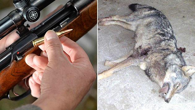 Landwirt erlegte Wolf in Stall: Keine Anklage (Bild: APA/BARBARA GINDL, Polizei)