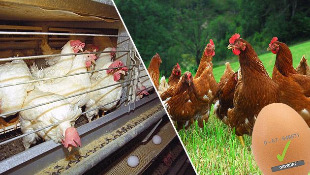Welt-Ei-Tag: Bessere Kennzeichnung gefordert (Bild: Vier Pfoten, Gabriele Moser, Eierdatenbank)