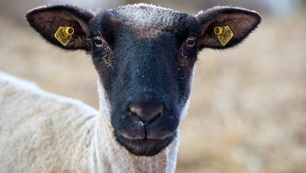 Drei Schafe am Tierschutztag in Garten geschächtet (Bild: dpa/Philipp Schulze (Symbolbild))
