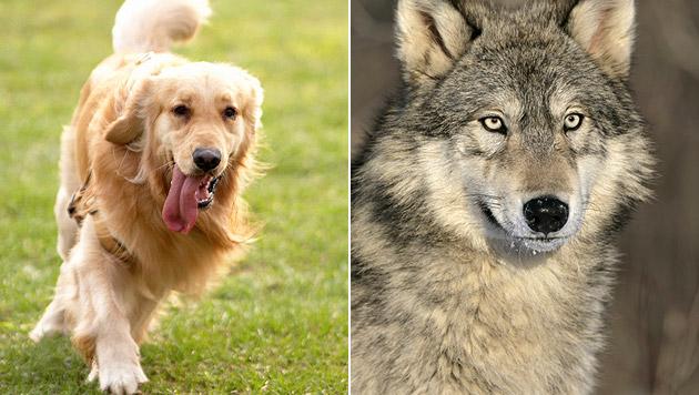 Geschlechter denken verschieden über Hund und Wolf (Bild: thinkstockphotos.de)