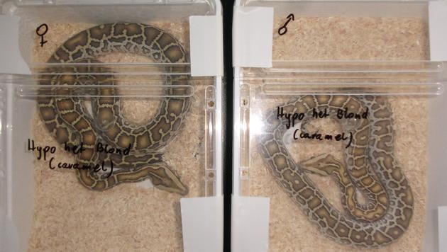 """Zwei sichergestellte Pythons (Bild: """"Krone"""")"""