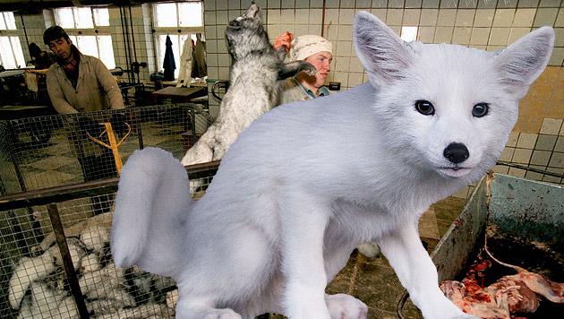 """Fuchs """"Kimi"""" gibt gequälten Pelztieren ein Gesicht (Bild: VIER PFOTEN, RPG/ROMAN PODERNY/CORBIS SYGMA)"""
