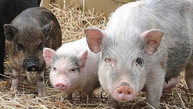 Auch 26 Minischweine haben ihren Platz. Geld ist aber dringend nötig: IBAN: AT393843900000257410. (Bild: kba)