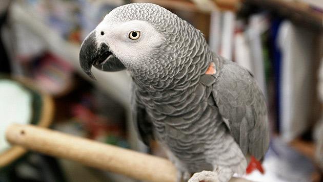 Verschwundener Papagei spricht nur noch Spanisch (Bild: AP (Symbolbild))