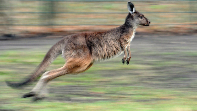 US-Studie zeigt: Ur-Kängurus konnten nicht hüpfen (Bild: BRITTA PEDERSEN/EPA/picturedesk.com (Symbolbild))