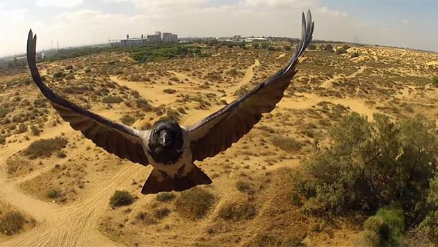 Vögel gegen Drohnen: So tobt der Kampf am Himmel (Bild: youtube.com)