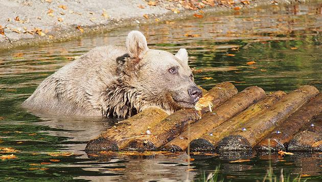 Bären im Bärenwald Arbesbach verlängern Badesaison (Bild: Vier Pfoten, Gerlinde Mairhofer)