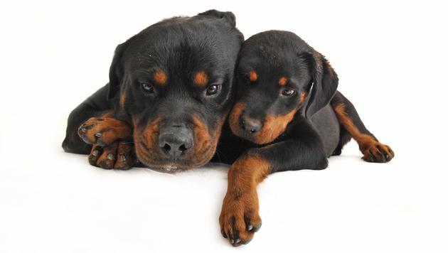Beliebig hohe Steuern für Listenhunde unzulässig (Bild: Photos.com/Getty Images (Symbolb.))
