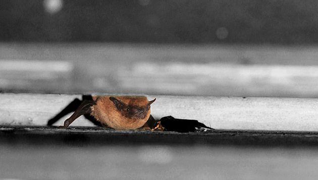 Fledermäuse in Salzburg sind römisch-katholisch (Bild: vivara.at)