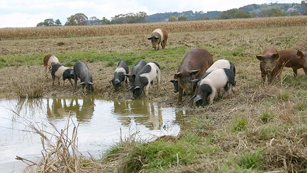 Die zufriedenen Labonca-Schweinderln können sich nach Ferkel-Lust suhlen und vom Wasser trinken. (Bild: Jürgen Radspieler)