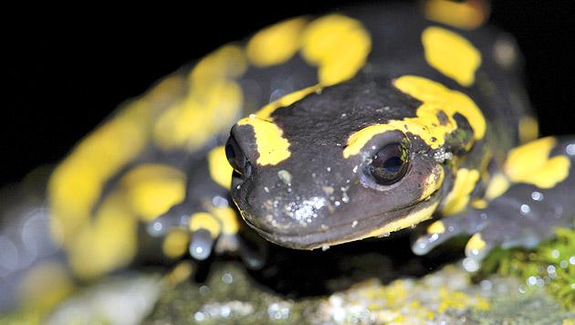 Pilz bedroht streng geschützten Feuersalamander (Bild: thinkstockphotos.de)