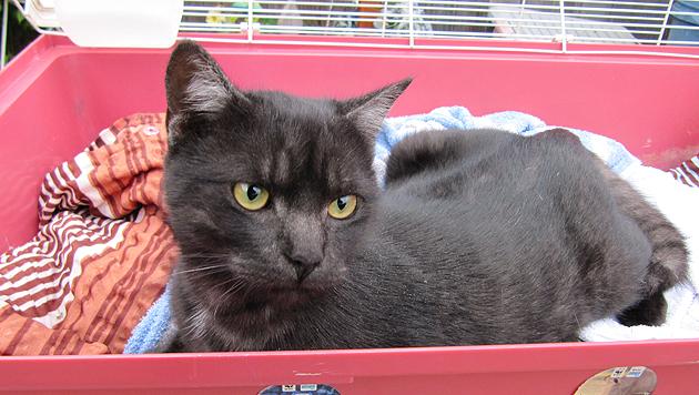 Die Katze wartet im Linzer Tierheim darauf, dass sie abgeholt wird. (Bild: Tierheim Linz)