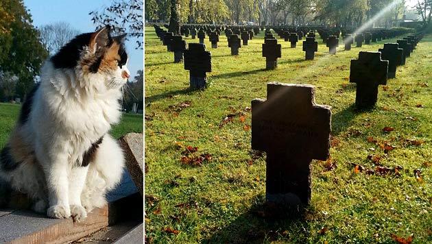 """Katze """"Struppi"""" wohnt am Wiener Zentralfriedhof - nun wird sie vermisst. (Bild: APA/HARALD SCHNEIDER, Verena Hlawati)"""