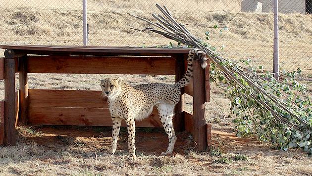 """Gepard mit drei Beinen in """"Lionsrock"""" aufgenommen (Bild: Vier Pfoten/Monika Girardi)"""