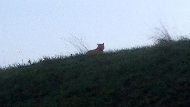 Dieser Tiger soll sein Unwesen unweit von Paris treiben. (Bild: facebook.com/Ville de Montevraine)